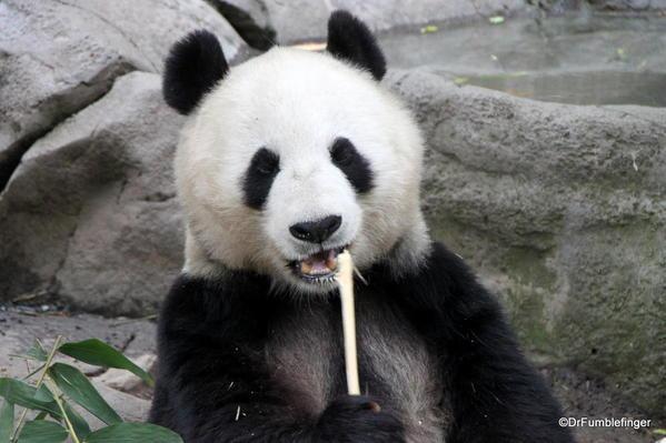 Giant Panda, San Diego Zoo