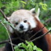 Red Panda, San Diego Zoo