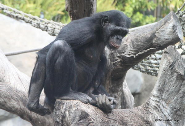 Bonobo, San Diego Zoo