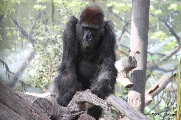 Western Gorilla, San Diego Zoo
