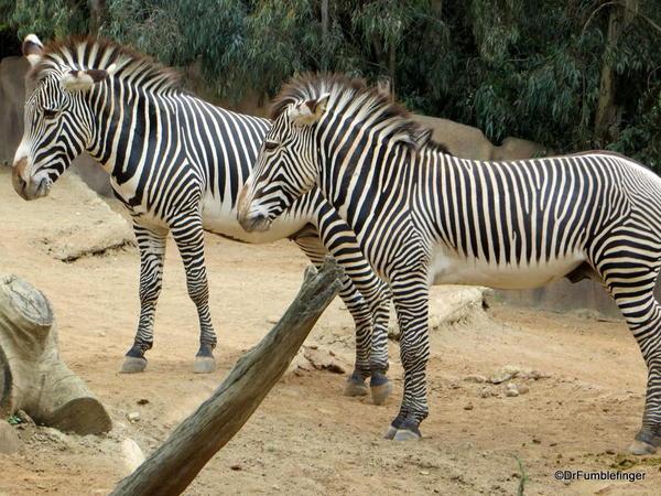 Zebra, San Diego Zoo