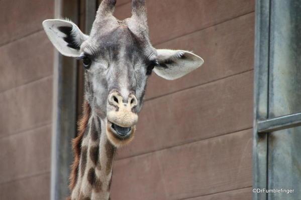 Giraffe, , San Diego Zoo