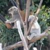 Koala, San Diego Zoo
