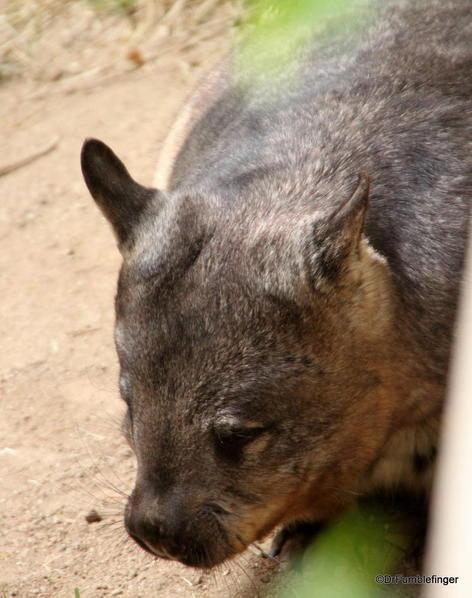 Wombat, San Diego Zoo