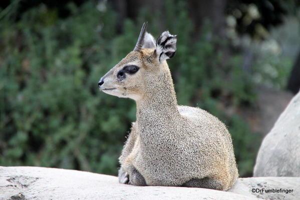 Klipsinger, San Diego Zoo
