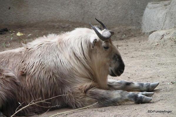 Takin, San Diego Zoo