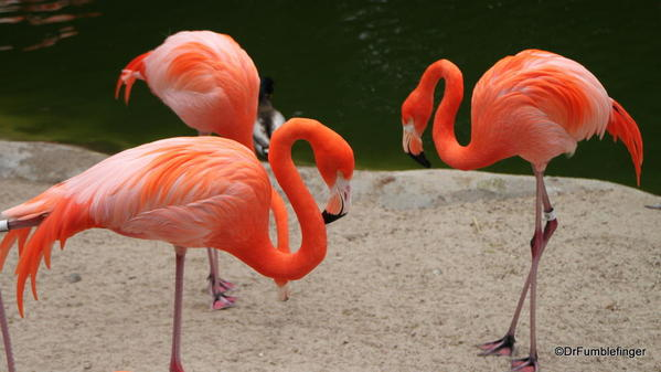 Chilean Flamingos, San Diego Zoo