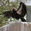 California Condor, San Diego Zoo