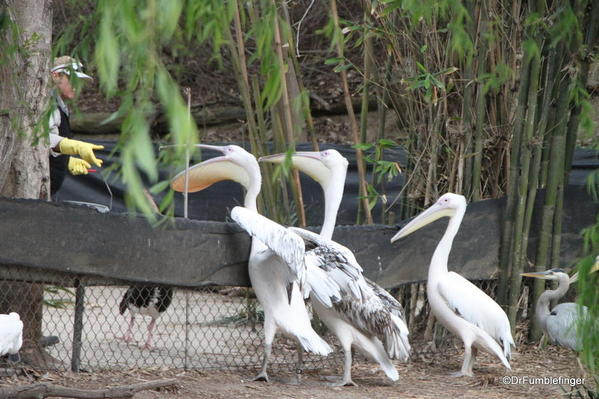 Feeding the pelicans, San Diego Zoo