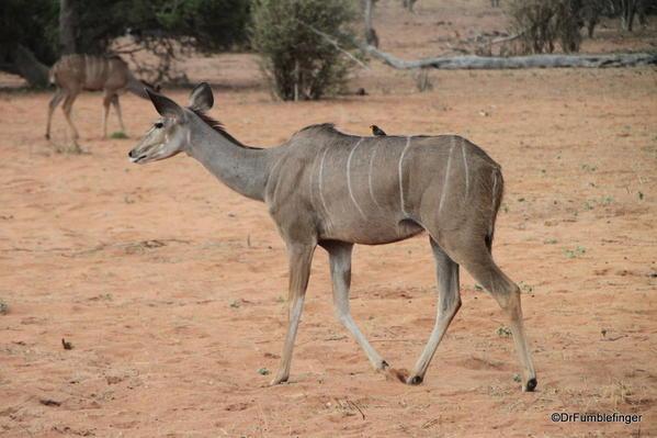 Kudo doe, Chobe National Park