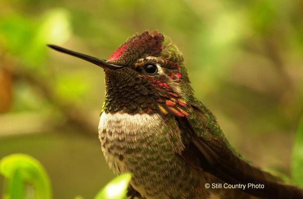 Humming Bird 1 W