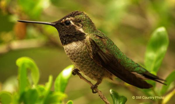 Humming Bird 2 W