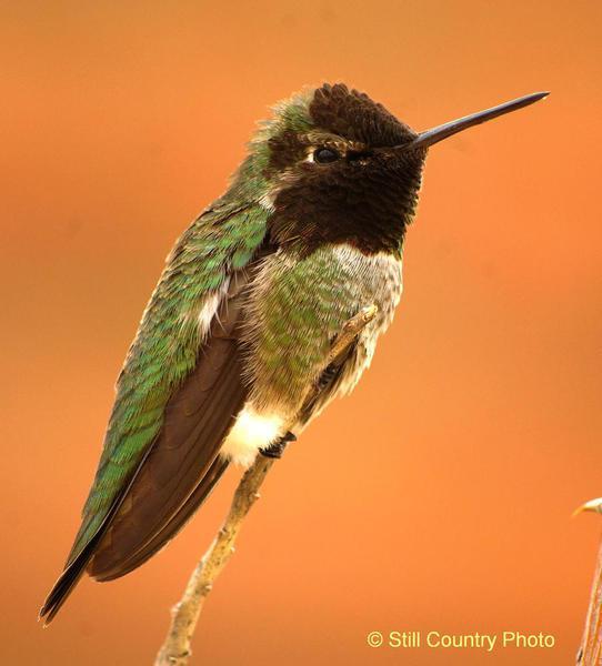 Humming Bird 3 W