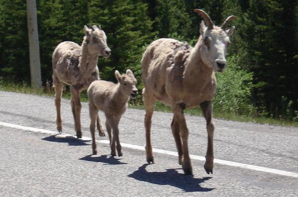 Kananaskis Country 02. Bighorn sheep