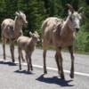 Kananaskis Country.  Bighorn sheep