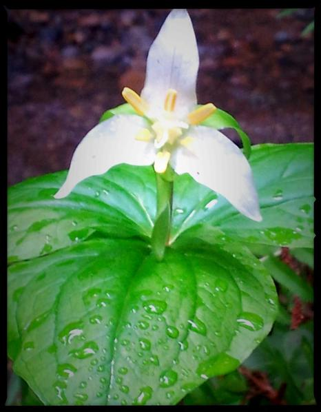 A Wild Trillium