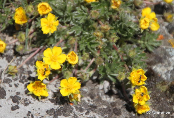 Wildflowers, summit of Tunnel Mountain, Banff National Park
