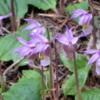 Calypso Orchids, Johnson Lake Trail