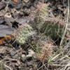 Cactus, floor of Horseshoe Canyon