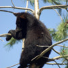 Black Bear Cub 1: Black Bear Cub hangin out.