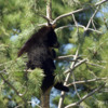 Black Bear Cub 2: Black Bear Cub hangin out.