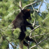 Black Bear Cub 4: Black Bear Cub hangin out.