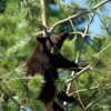 Black Bear Cub 5: Black Bear Cub hangin out.