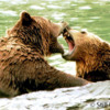 Grizzlies 5: Young male grizzlies play fighting.