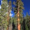 Mariposa Grove, Yosemite National Park