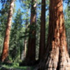 Bachelor and Three Graces, Mariposa Grove, Yosemite National Park