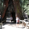 Tunnel Tree, Mariposa Grove, Yosemite National Park: The only living sequoia with a man-made tunnel through it