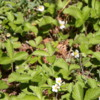 Wild Strawberries, Mariposa Grove, Yosemite National Park