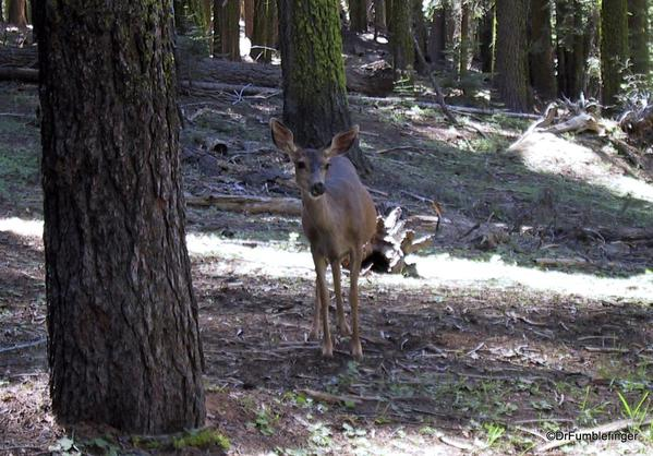 Deer, Mariposa Grove, Yosemite National Park