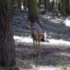 Deer, Mariposa Grove, Yosemite National Park
