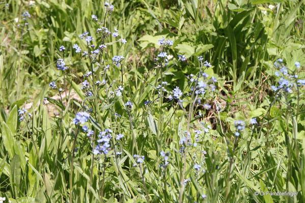 Wildflowers, trail to Plain of Six Glaciers