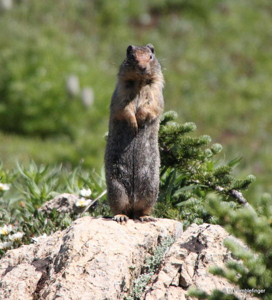 Ground Squirrel -- Sunshine Meadows