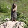 Ground Squirrel -- Sunshine Meadows