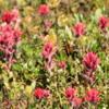 Sunshine Meadows -- Indian Paintbrush