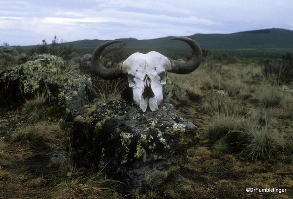 Buffalo skull on Mt. Kilimanjaro's Shira Plateau