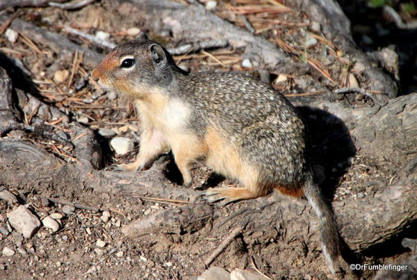 Ground Squirrel, Yoho National Park
