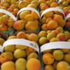 Apricots, St Catharines Market, Niagara Peninsula, Ontario