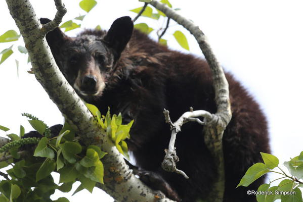Black bear, Waterton Village
