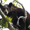 Black bear, Waterton Village