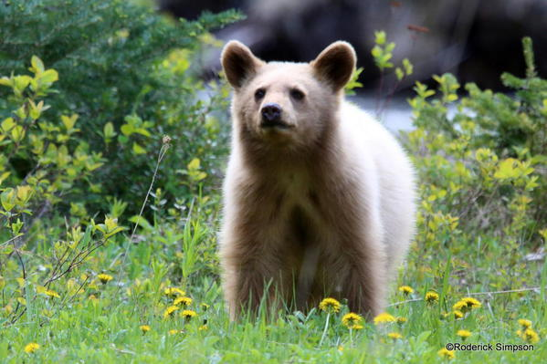 Bear cub, Waterton National Park