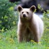 Bear cub, Waterton National Park