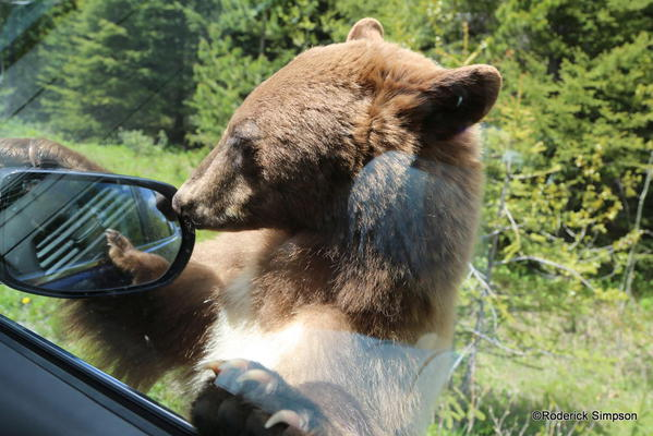Bear, Waterton National Park