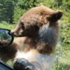 Bear, Waterton National Park