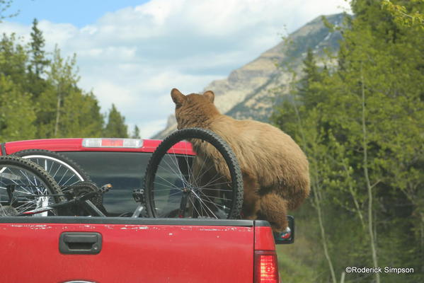 Bear hitchhiker, Waterton National Park