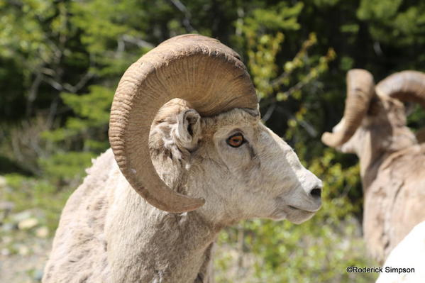Bighorn sheep, Waterton - provincial mammal of Alberta