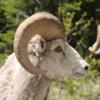 Bighorn sheep, Waterton - provincial mammal of Alberta